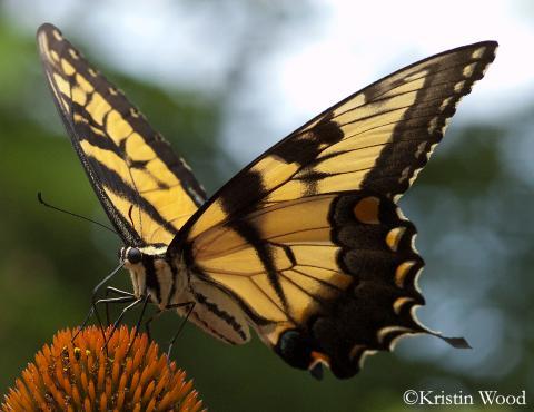 Papilio_glaucus_kristin_wood